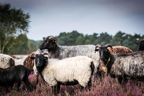 Eine Heidschnucke-Herde auf der Weide.