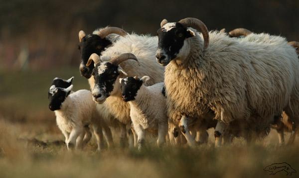 Eine Gruppe Scottish Blackface mit drei Lämmern auf der Weide.