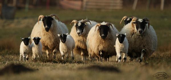 Eine Gruppe ausgewachsener Scottish Blackface und vier Lämmer auf der Weide.