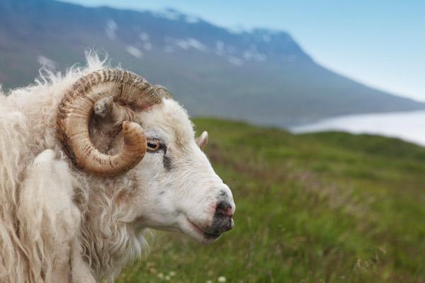 Ein Bock in Island vor ein den Bergen.