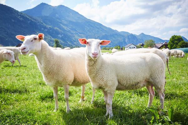 Zwei Ostfriesische Milchchafe auf der Weide mit Bergen im Hintergrund.