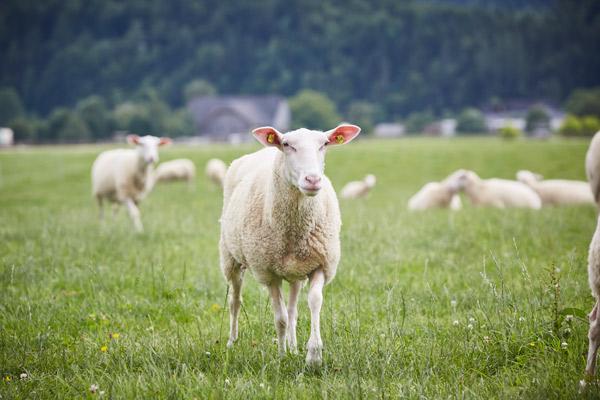 Ein Ostfriesisches Milchschaf auf der Weide mit anderen Schafen im Hintergrund.