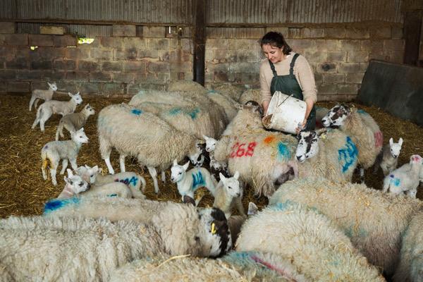 Eine Züchterin füttert ihre Schafe im Stall aus einem Kübel.