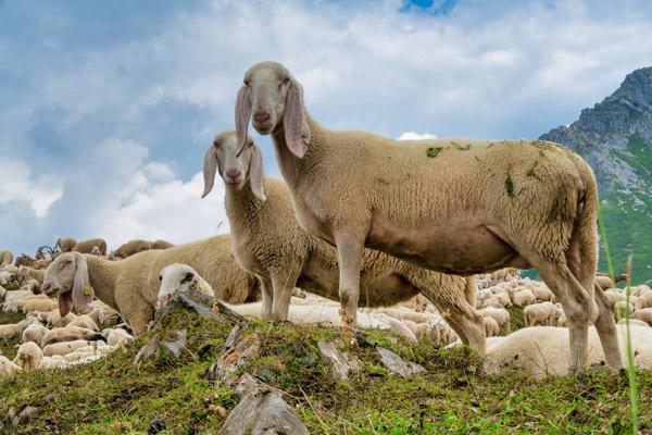 Frisch geschorene Schafe auf einer Schafweide mit Bergen im Hintergrund.