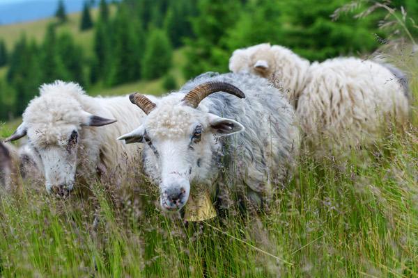 Eine Gruppe Schafe auf einer Weide.