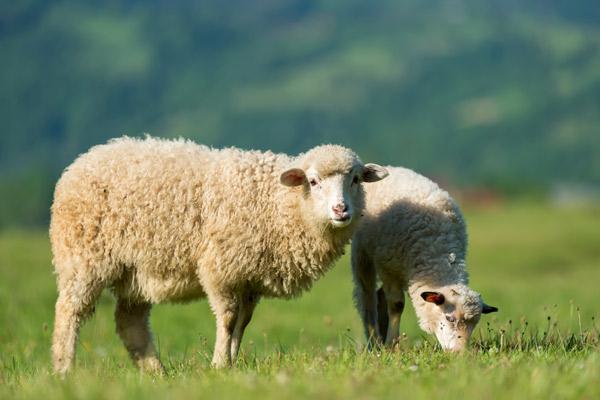 Zwei Schafe grasen auf der Weide.