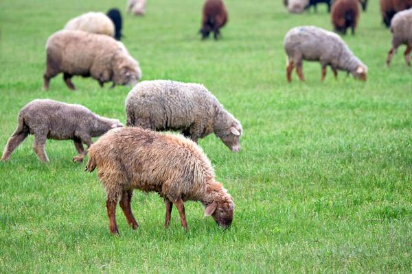 Eine Schafherde grasend auf einer grünen Wiese.