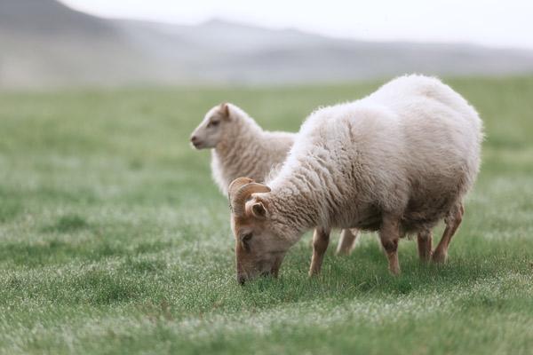 Ein grasender Bock auf der Weide und ein weibliches Schaf im Hintergrund.