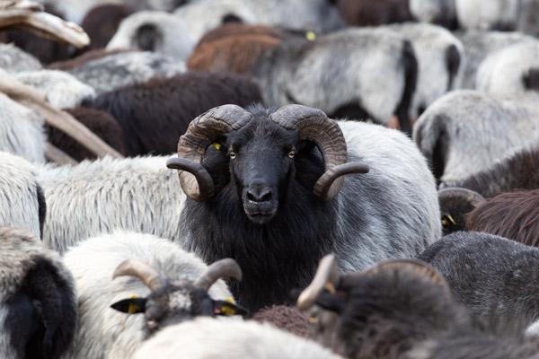 Eine graue Heidschnucke inmitten einer Herde.