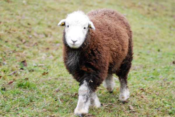 Ein braunes Herdwick Schafe auf der Wiese.