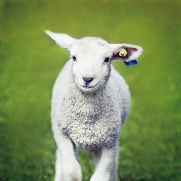 Ein Lamm mit blauer Ohrenmarkierung auf der Weide.