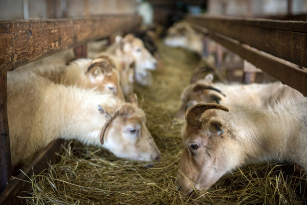 Schafböcke essen Heu aus einer Raufe im Stall.