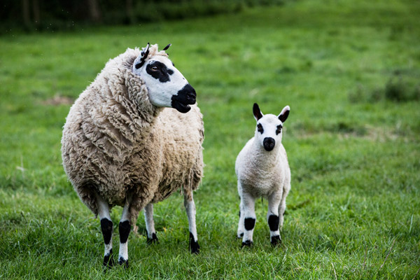 Ein Kerry Hill Mutterschaf und ein Kerry Hill Lamm auf der Wiese
