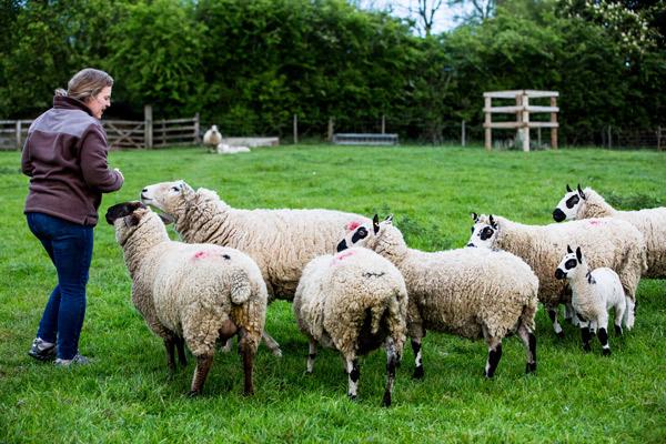 Kerry Hill Schafe werden von ihrer Halterin auf der Weide angelockt.