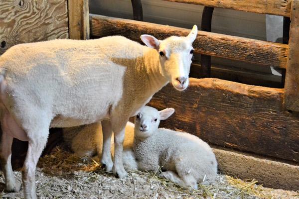 Ein Mutterschaf und der Nachwuchs in einer Ecke im Stall
