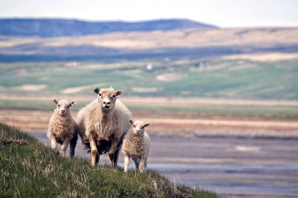 Ein Mutterschaf und seine Zwillinge vor einer kargen Landschaft.