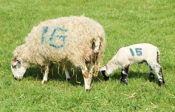 Ein Mutterschaf und ihr Lamm markiert mit der selben Zahl.