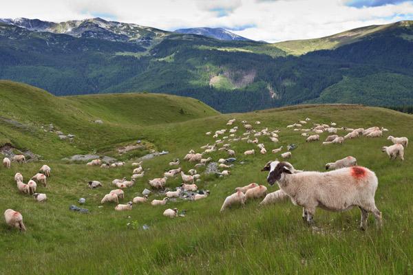 Eine Herde Schafe, die vom Bock gedeckt und durch das Bockgeschirr markiert wurden auf der Wiese.