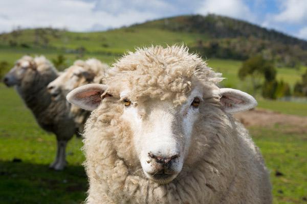Portrait eines Schafes auf einer Schafweide.