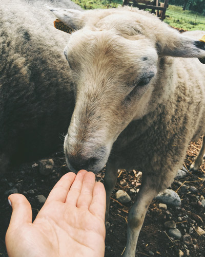 Ein zutrauliches Schaf wird von einer Hand angelockt.