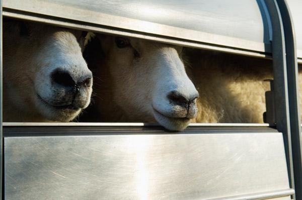 Zwei Schafe schauen aus einem Viehanhänger.