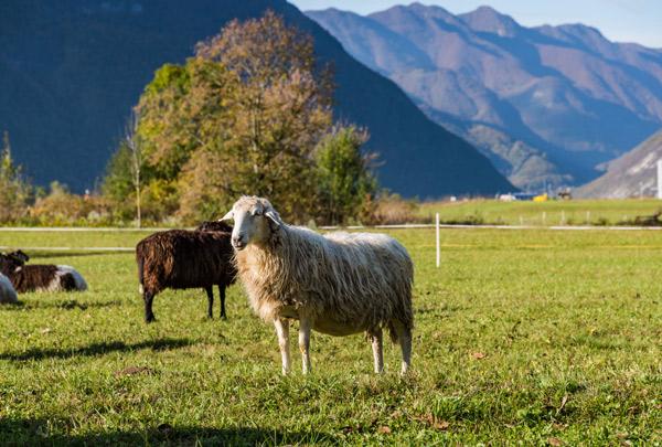 Zwei Schafe auf der Weide vor Bergen im Hintergrund.