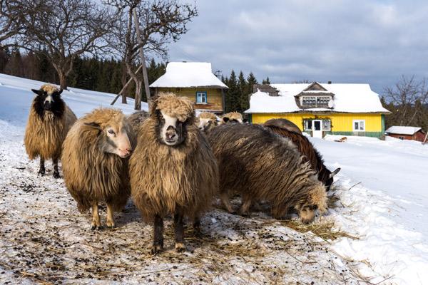 Schafe im Schnee vor einem gelben Haus.