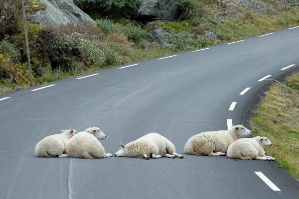 Fünf Schafe liegen auf einer Straße.