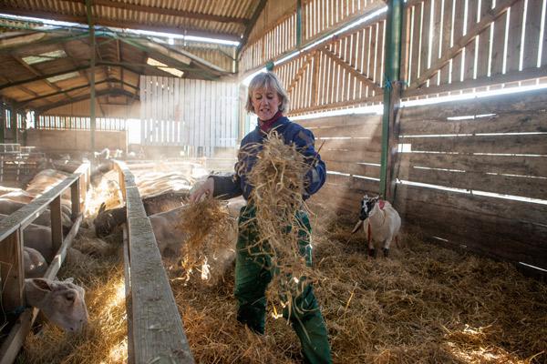 Eine Schafhälterin verteilt Stroh im Schafstall.