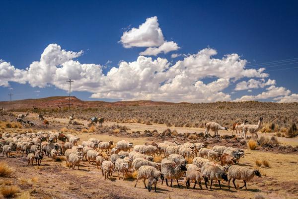 Eine Schafherde in der Wüste.