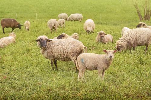 Schafe und Lämmer auf der Weide