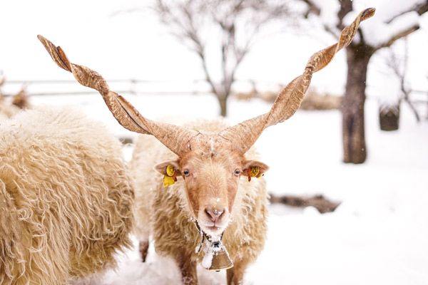 Ein ungarisches Zackelschaf im Schnee