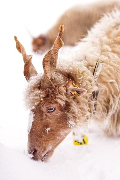 Ein Ungarisches Zackelschaf im Schnee.