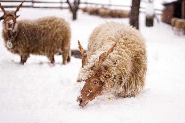Zwei Ungarische Zackelschafe im Schnee.