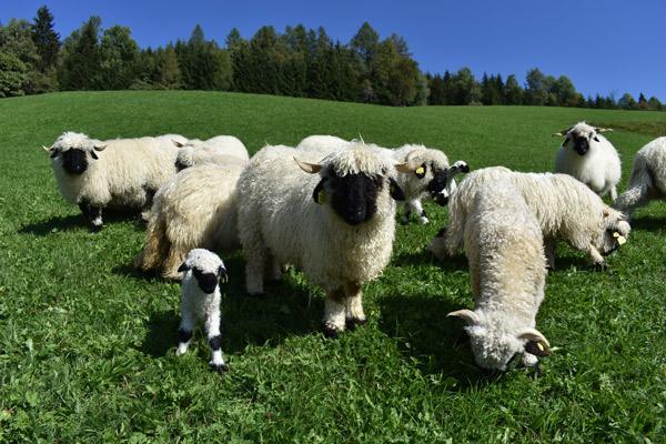 Eine Gruppe Schwarznasen mit Lämmern auf der Weide.