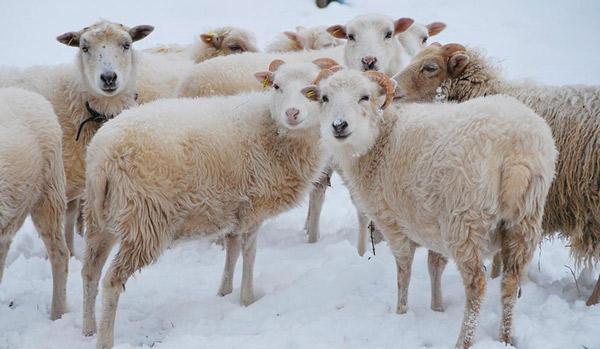Eine Gruppe Skudden im Schnee.