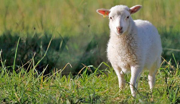 Ein Skudde Lamm auf der Weide.