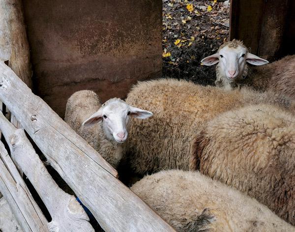 Mehrere Schafe in ihrem Stall.