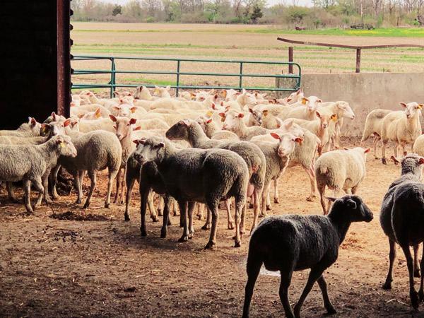 Eine Schafherde im Auslauf ihres Stalles.