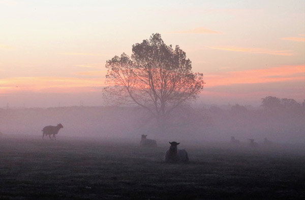 Eine Schafweide in der Dämmerung mit einem Baum im Hintergrund.
