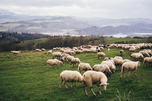 Eine Herde auf einer Weide vor einer Hügellandschaft.
