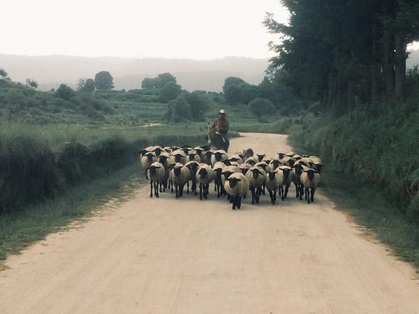 Eine Schafherde auf einem Weg gefolgt von einem Mann auf einem Esel.