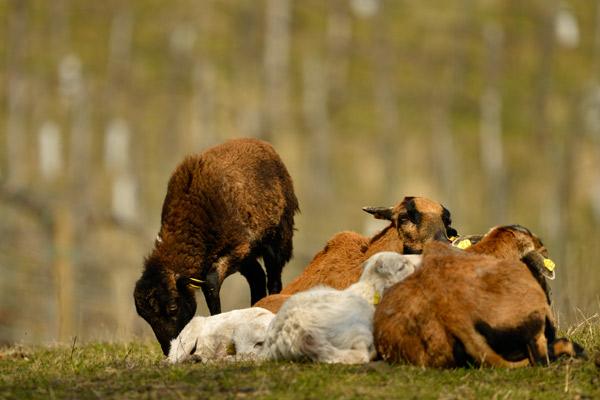 Eine Gruppe Ziegen liegt in einem Weingarten.