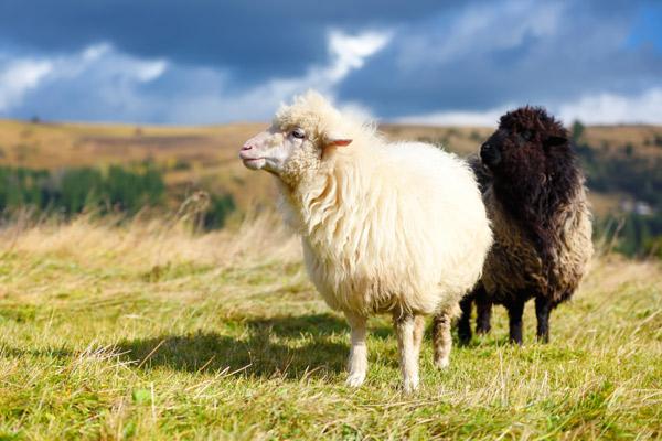 Ein schwarzes und ein weißes Schaf auf der Weide.
